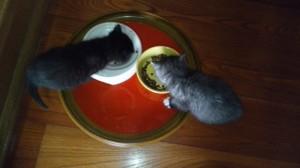 仲良くお食事タイム。カリカリ食べています