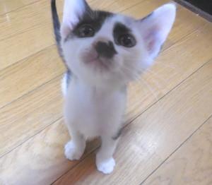 ブチ猫ナナ君 (1)