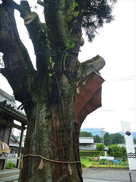 樹齢8百年の杉の巨木 関ケ原 福島正則の陣跡