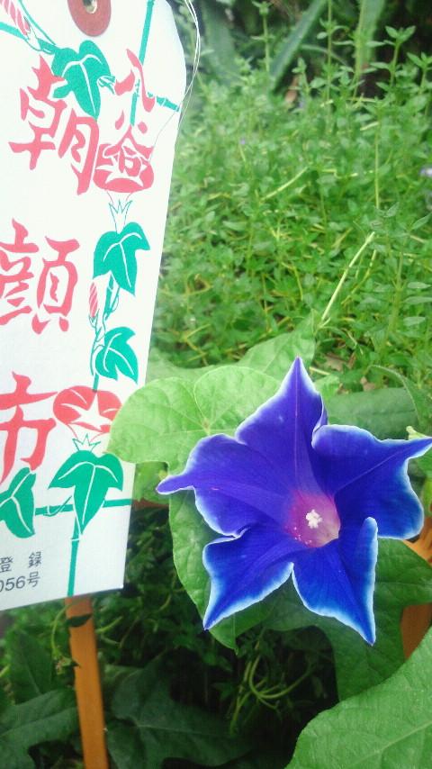 入谷朝顔市-桔梗咲き