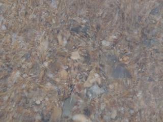 二枚貝の砂潜り03