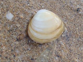 二枚貝の砂潜り05