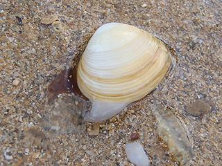 二枚貝の砂潜り06