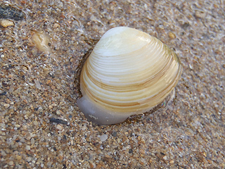 二枚貝の砂潜り07