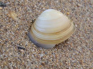 二枚貝の砂潜り08