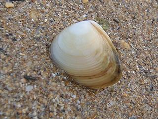 二枚貝の砂潜り09