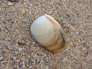 二枚貝の砂潜り10