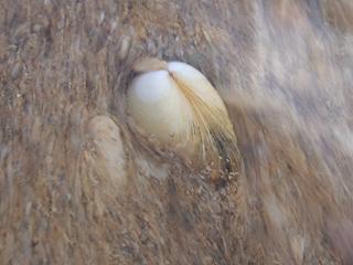 二枚貝の砂潜り11