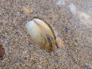 二枚貝の砂潜り11-02