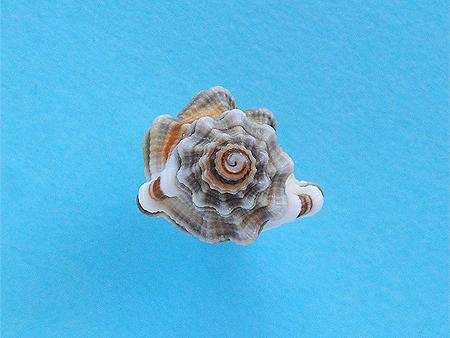ハチボラ-殻頂