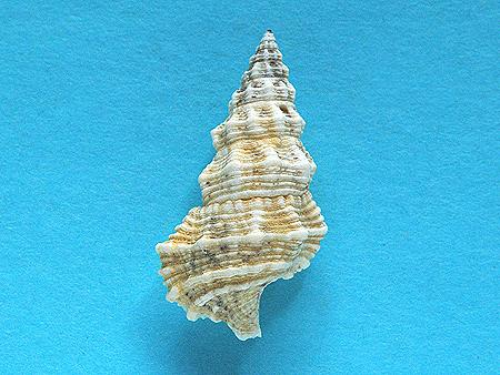 コオニノツノガイ02-背面