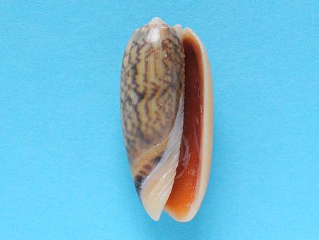 ジュドウマクラ02-腹面