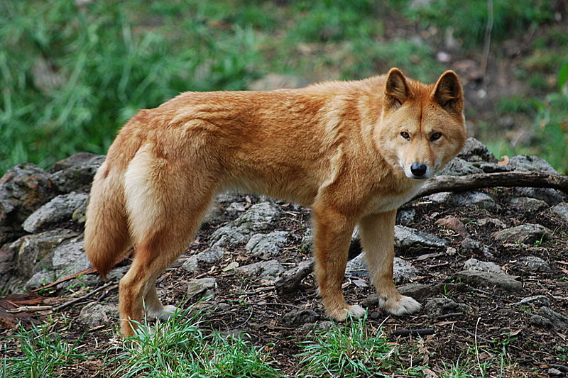 Canis_lupus_dingo_-_cleland_wildlife_park.jpg