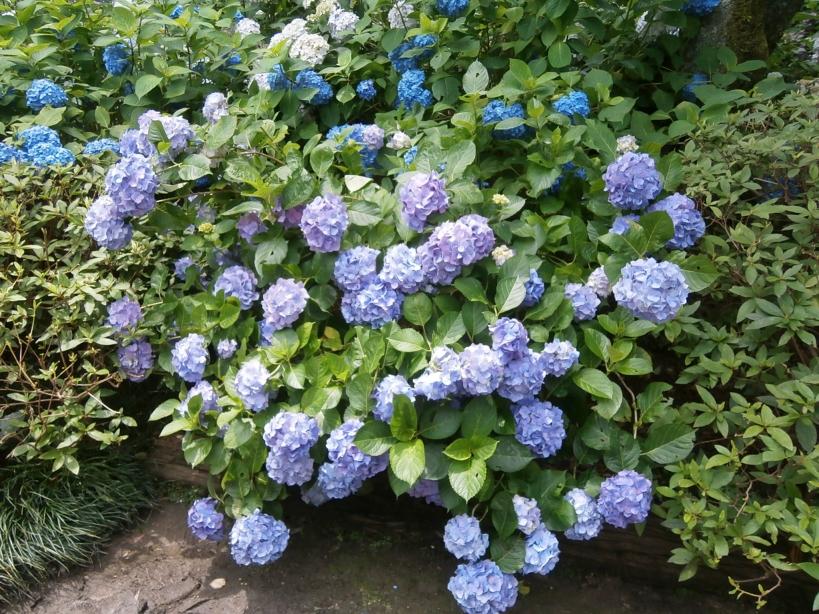 2012 紫陽花