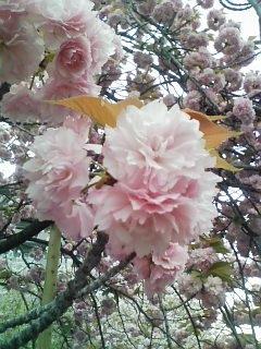八重桜2012