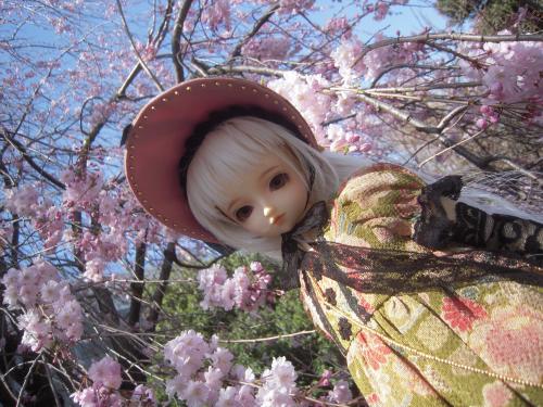 くるみ 桜1