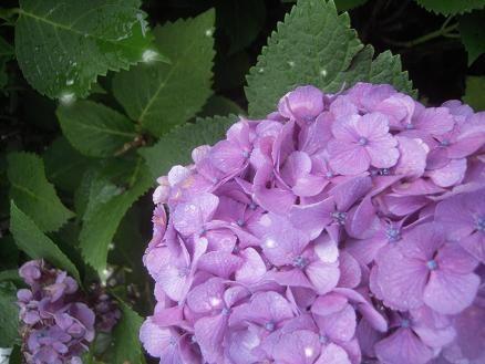 半夏生 紫陽花