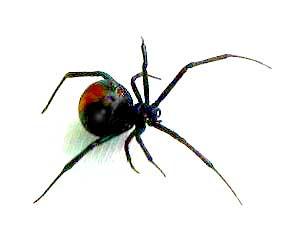 redback-spider.jpg