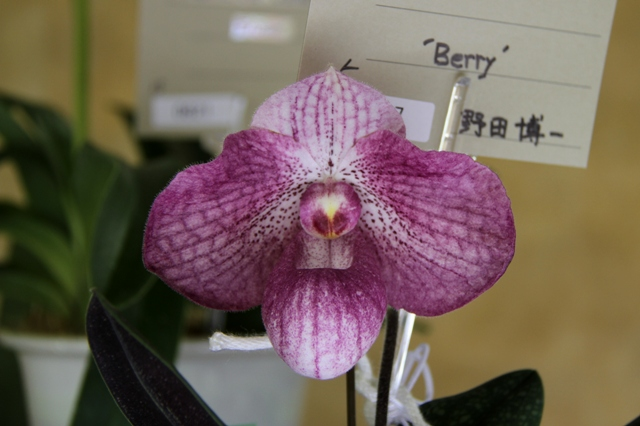 "Paph.Victoria Village ""Berry"""