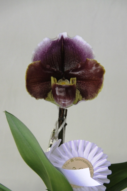 "Paph. (Tree of Galaxy X Winston Churchill) X Tree of Dragon ""Enzan Red"""