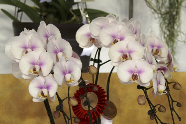 個別展示品の胡蝶蘭