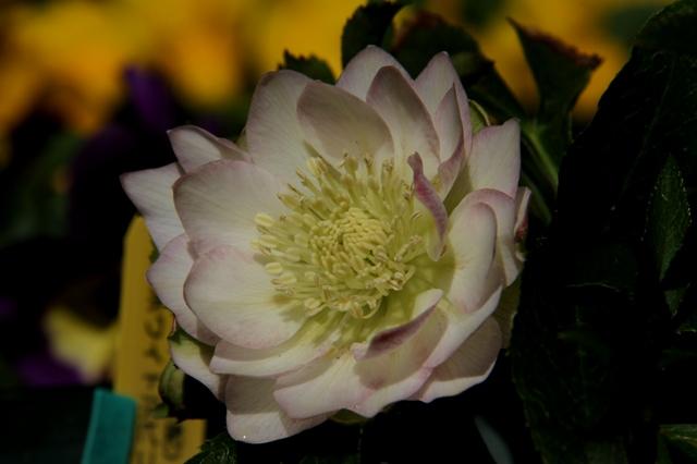 ddホワイト弁先サクラピンク横咲き