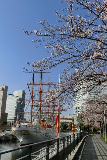日本丸メモリアルパークと桜