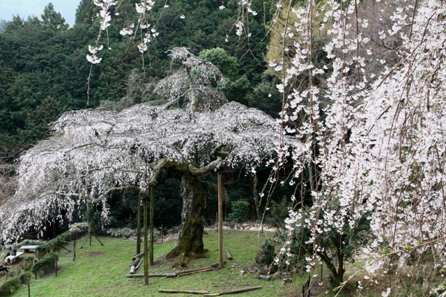 長興山紹太寺のしだれ桜