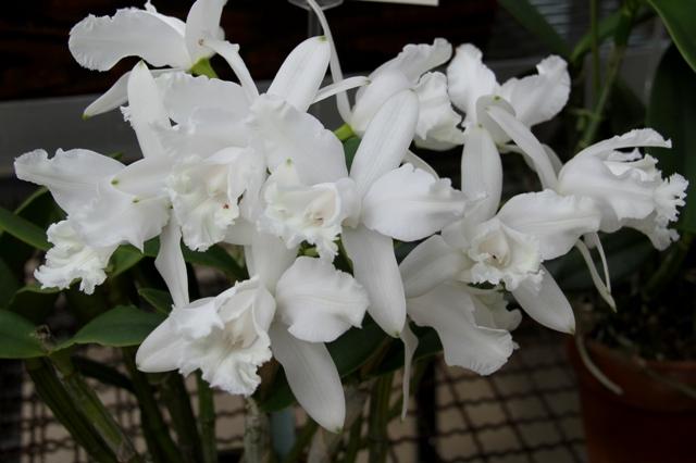 C.intermedia alba perolata