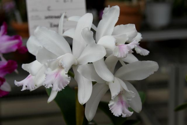 C.intermedia