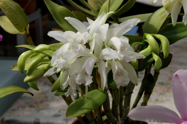 C.intermedia alba