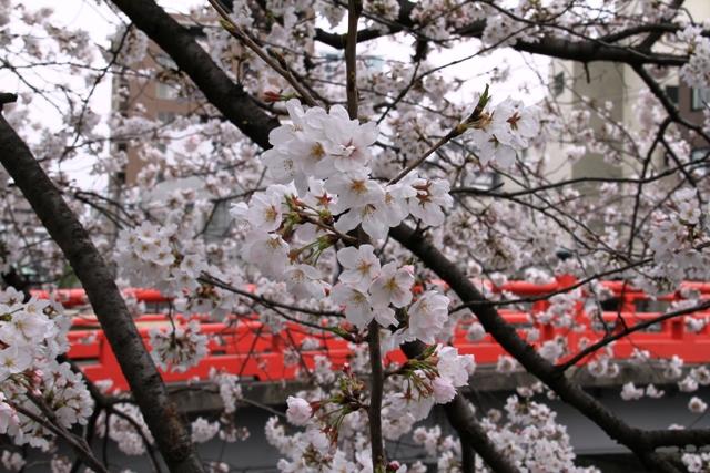 荏原神社と桜