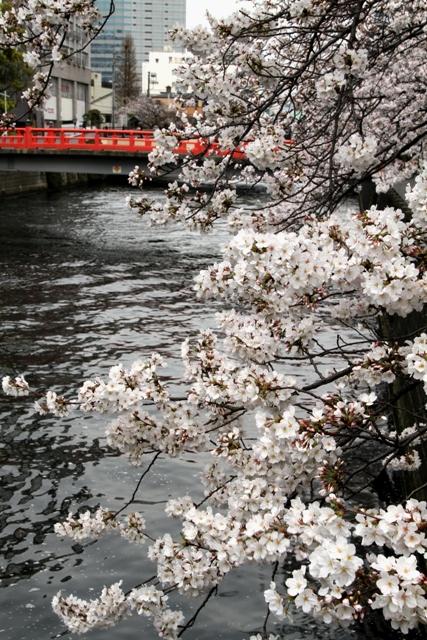 荏原神社表参道の桜