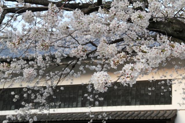 田安門にかかる桜