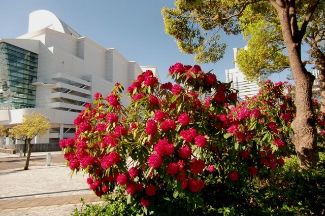 パシフィコ横浜国立大ホール前の石楠花