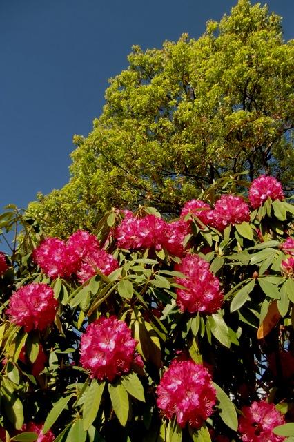 臨港パークの石楠花