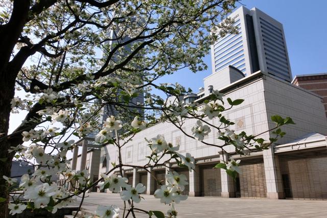 横浜美術館とアメリカヤマボウシ