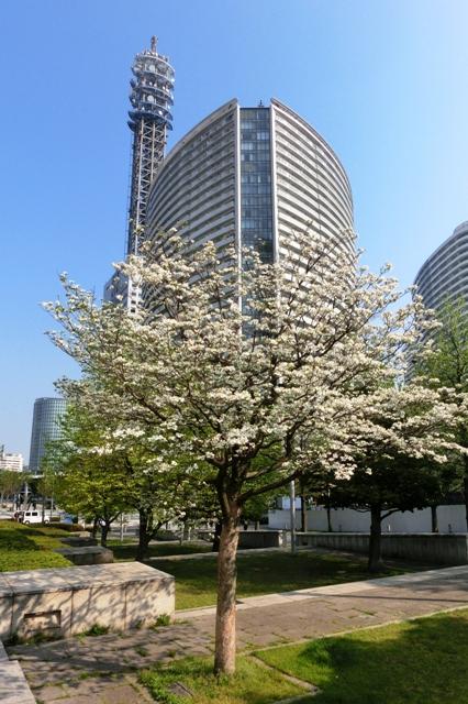 横浜メディアタワーとハナミズキ