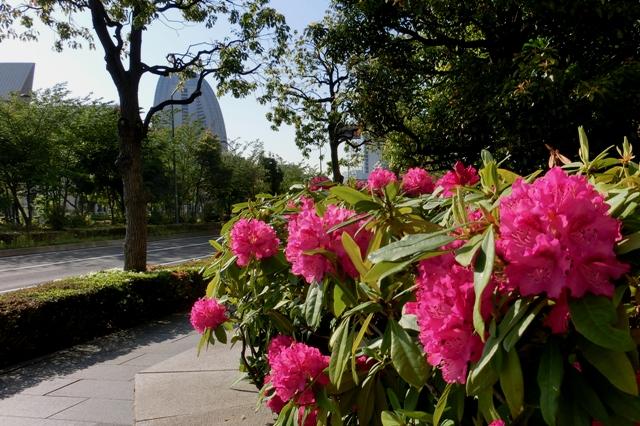 石楠花の生け垣