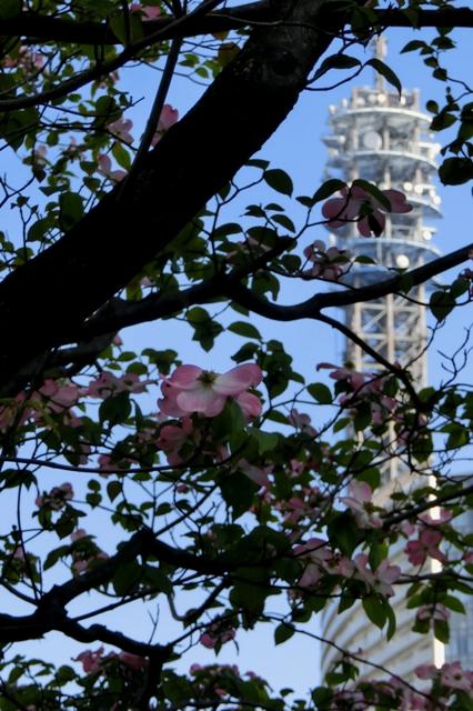 ピンク色のハナミズキ(アメリカヤマボウシ)
