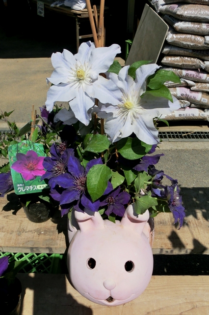 かわいいウサギの入れ物に入ったクレマチス(さのの紫)