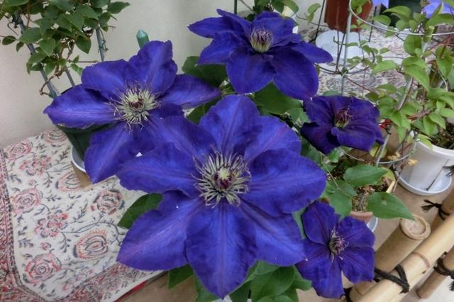 江戸紫(政木房子)
