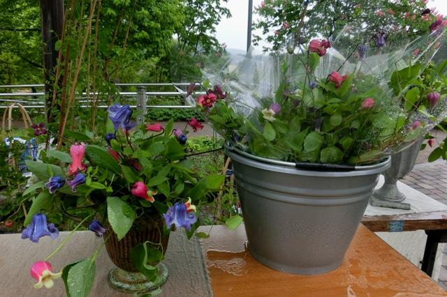 めずらしい壺型クレマチスの切り花