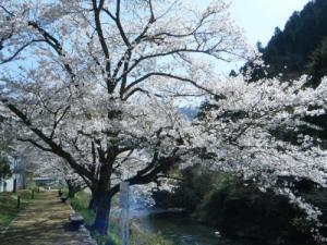 湯来桜2013-2