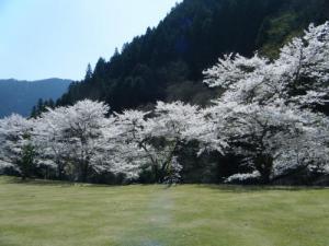 湯来桜2013-1