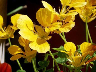 陽に映える黄色の庭の花downsize