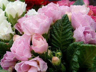 薄いピンクの庭の花downsize