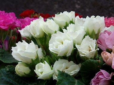 清楚な姿の白い庭の花downsize