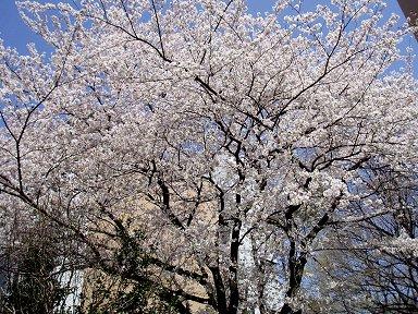 多摩丘陵M大の桜は今満開downsize