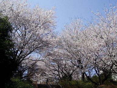 石段にこぼれかかるような桜並木downsize
